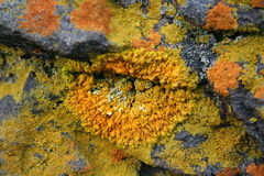 Yellow lichen Stock Photos