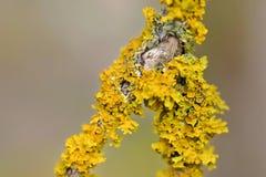Yellow Lichen Stock Photo