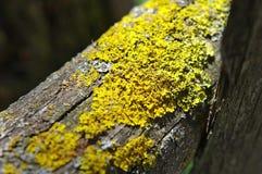 Yellow lichen Royalty Free Stock Photos
