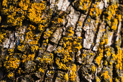 Yellow lichen closeup Royalty Free Stock Image