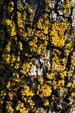 Yellow lichen closeup Royalty Free Stock Photography