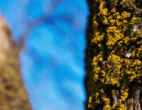 Yellow lichen closeup Stock Photos