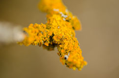 Yellow lichen closeup Royalty Free Stock Images