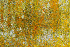 Yellow lichen on concrete wall Royalty Free Stock Image