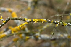 Yellow lichen. Detail on white and yellow lichen growing on a branch Stock Photos