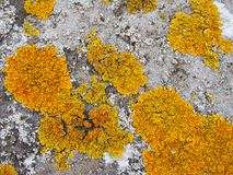 Yellow lichen growing on old stone wall stock photo