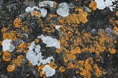 Yellow lichen Cructose lichen growing on stone in nature Royalty Free Stock Images