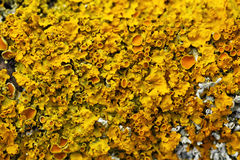 Yellow lichen macro Royalty Free Stock Images