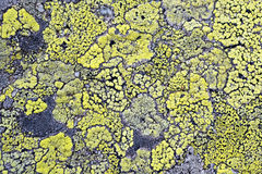Yellow lichen means no air pollution Stock Photography