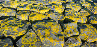 Yellow lichen on the rocks. Yellow lichens on the stones of a Dutch sea defense up close on a sunny day at the end of the winter Royalty Free Stock Photography