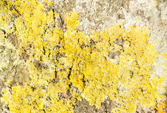 Yellow lichen texture Royalty Free Stock Photos