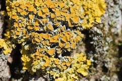 Yellow lichen on a tree bark Royalty Free Stock Photos
