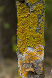 Yellow lichen on tree bark destroys the forest. Yellow tree lichens on a ash tree bark. The pattern formed by the contours of orange lichen on tree bark Stock Photos