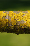 Yellow Lichen on tree branch Stock Image