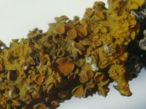 Yellow lichen. On a tree brown Royalty Free Stock Images