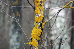 Yellow lichen on the tree trunk Royalty Free Stock Photography
