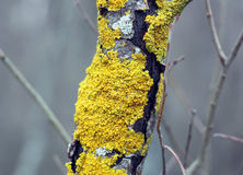 Yellow lichen on the tree trunk Stock Photography