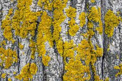 Yellow lichen on tree trunk bark background royalty free stock photo