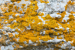 Yellow lichens Stock Photography