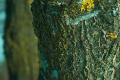 Yellow lichens on a plum tree Stock Photo