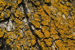 Yellow lichens Royalty Free Stock Photos