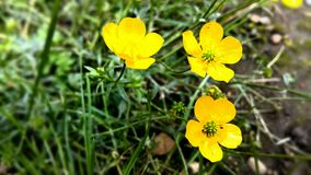 Yellow life. In garden little wild grown yellow flowers Stock Photography