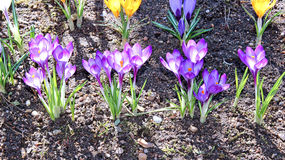 Yellow and lilac crocus flowers in the garden Stock Photos