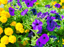Yellow and lilac flowers Stock Images