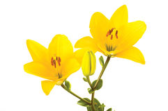 Yellow liles. Yellow flowers isolated on the white background stock images