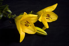Yellow liles. Yellow flowers isolated on the black background royalty free stock photos