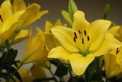 Yellow lilies Royalty Free Stock Image