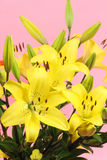 Yellow lilies Stock Image