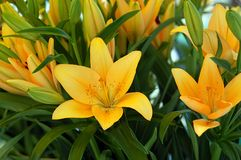 Yellow lilies Stock Photography