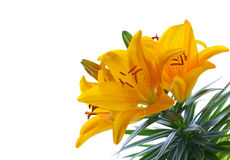Yellow Lilies Royalty Free Stock Photo