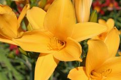 Yellow lilies. In the botanical gardens Royalty Free Stock Photos