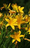 Yellow Lilies Royalty Free Stock Images