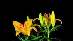 Yellow lilies bloom, time-lapse. Yellow lilies bloom, time - lapse stock video footage