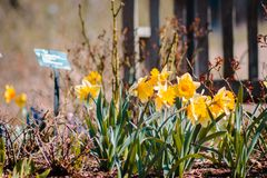 Yellow lilies blooming on a spring day at the Frederik Meijer Gardens stock images