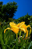Yellow Lilies with blue skies in garden. Beautiful yellow Lilies in garden Royalty Free Stock Photo