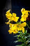 Yellow lilies on the dark background Royalty Free Stock Photography