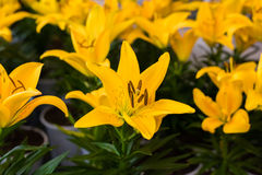 Yellow lilies flower Stock Image