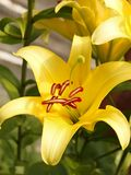 Yellow lilies in flowerbed close-up Royalty Free Stock Photography