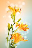 Yellow lilies flowers background. Royalty Free Stock Photo