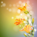 Yellow lilies flowers background. Royalty Free Stock Images