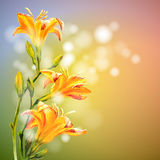 Yellow lilies flowers background. Stock Image