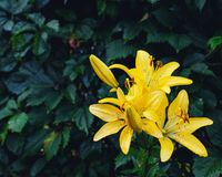Yellow lilies in the garden stock photos