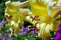 Yellow lilies in the garden. stock photo