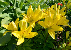 Yellow lilies of a grade of Golden Tycoon Royalty Free Stock Photo