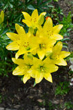 Yellow lilies Royalty Free Stock Photography