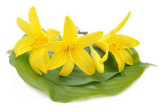 Yellow lilies on green leaves Royalty Free Stock Image
